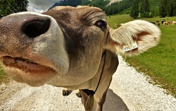 cow-2416474_640